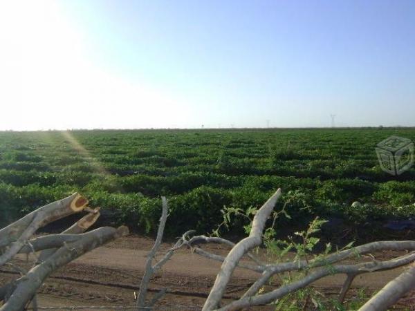 200 hectáreas de riego en tobarito obregon